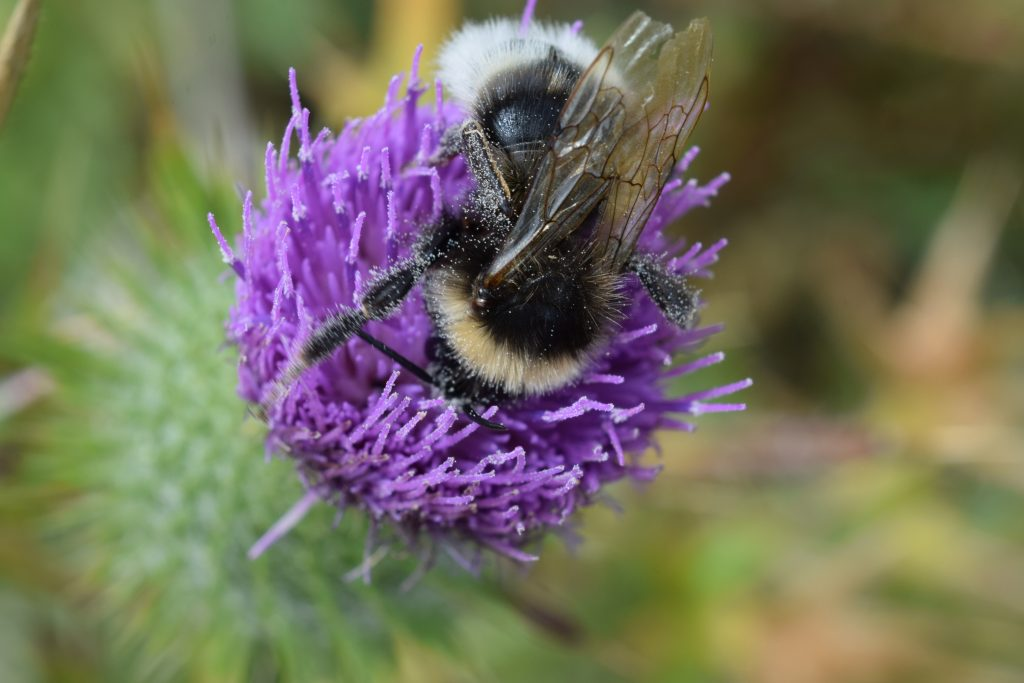 bee thistle herne bay downs jul 2020