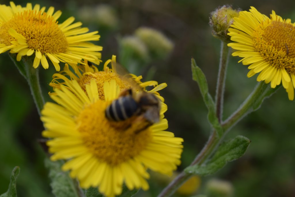 common fleabane pulicaria dysenterica herne bay downs jul 2020