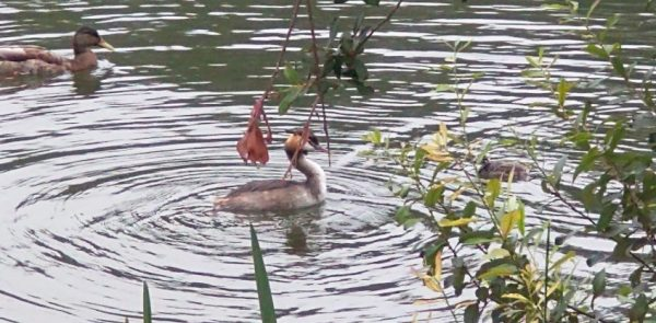 Great crested grebe two chicks chertsey aug 2020