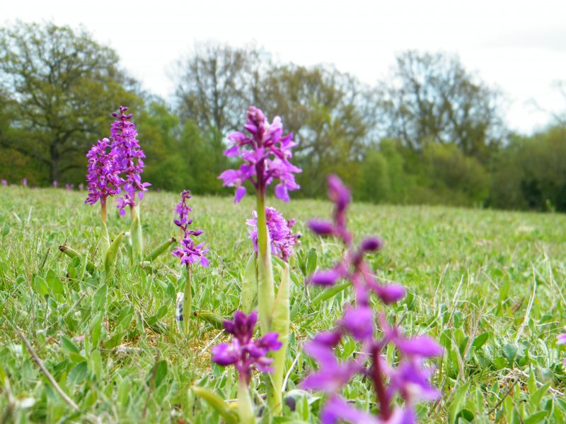 early purple Orchid orchis mascula field ashburnham may 2010
