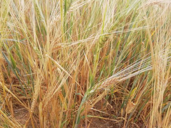 barley marden kent july 2020