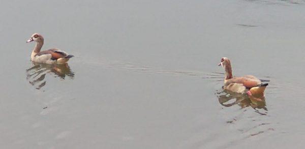 egyptian geese chertsey aug 2020