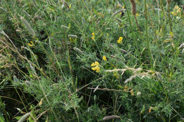 meadow vetchling plant lathyrus pratensis reculver kent july 2020