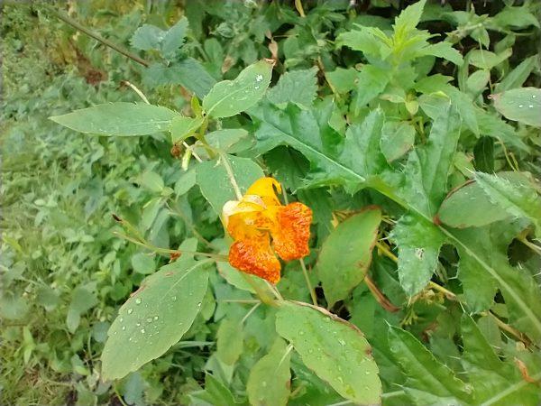 orange balsam impatiens capensis chertsey aug 2020