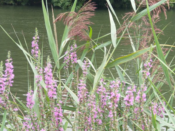 purple loosestrife reeds chertsey aug 2020