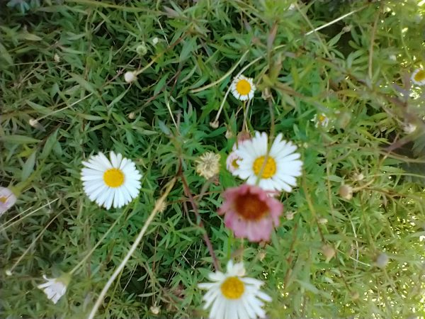 Mexican fleabane erigeron karvinskianus kingsbridge sept 2020