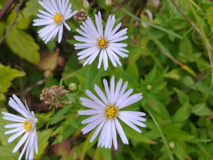 Michaelmas daisy aster novi-belgii seaford last meadow sept 2020