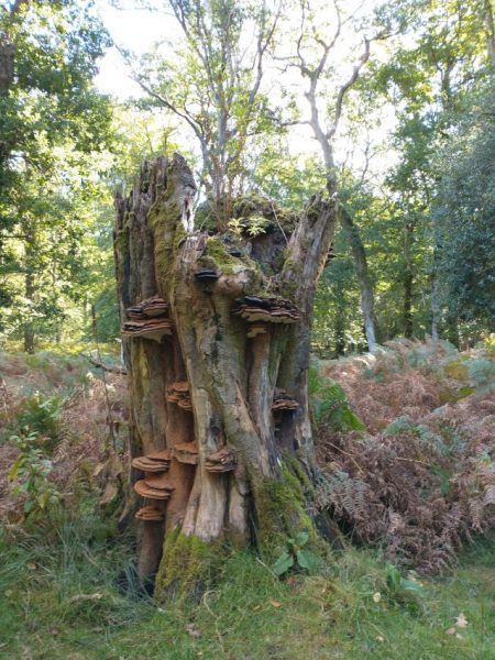New Forest stump