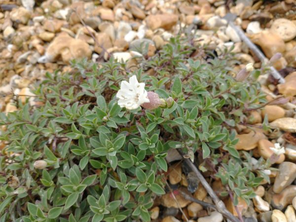 Sea campion silene maritima New milton oct 2020