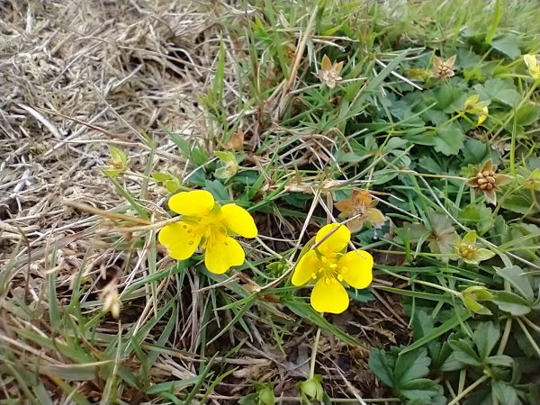 Tormentil Potentilla erecta New Forest Oct 2020
