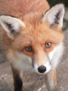friendly fox seaford