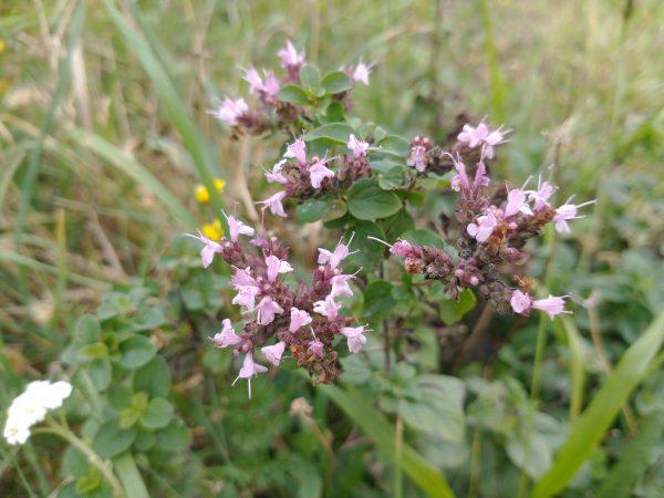 marjoram origanum vulgare last meadow seaford sept 2020