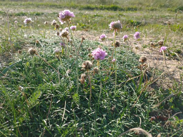 sea pink armeria maritima thurleston devon sept 2020