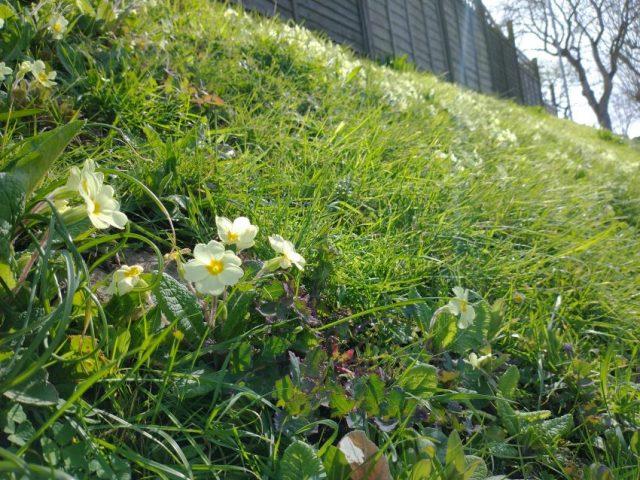 Primroses grassy bank Seaford Mar 2021