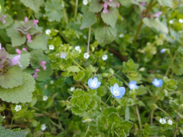 speedwell deadnettle chickweed seaford mar 2021