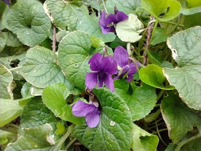 sweet violet viola odorata roadside verge seaford mar 2021