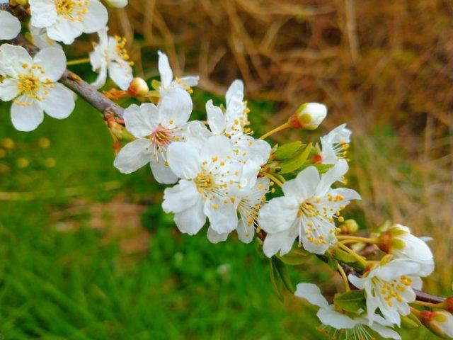 tree blossom landsdown rd seaford mar 2021