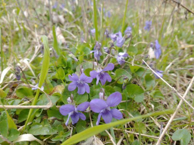 common dog violet viola riviniana seaford last meadow apr 2021common dog violet viola riviniana seaford last meadow apr 2021