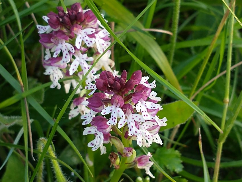 Burnt orchid Orchis ustulata Cradle Valley Seaford July 2021